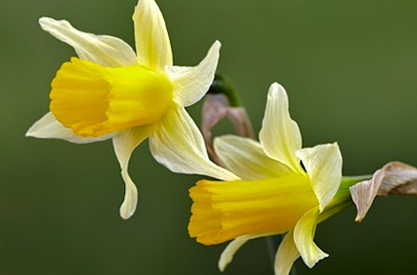 'Narcissus nevadensis'
